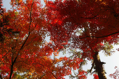 Maple_fukuoka_11