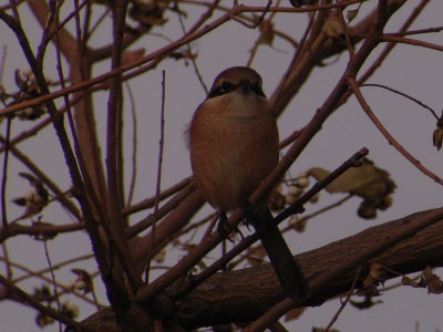 Bull_headed_shrike3
