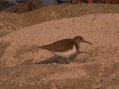 Common_sandpiper2_2