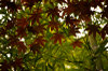 Maple__bamboo_tenryuji4