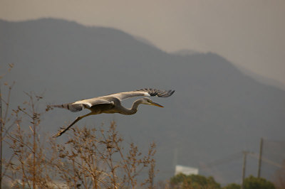 Gray_heron_fly_2