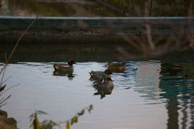 Green_winged_teal_1