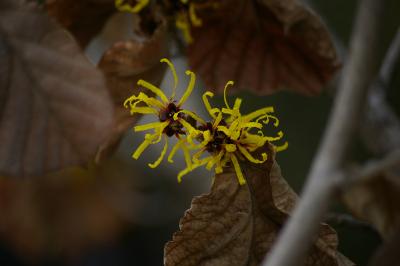 Hamamelis_japonica