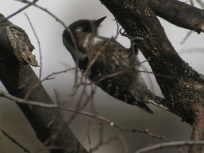 Japanese_pygmy_woodpecker