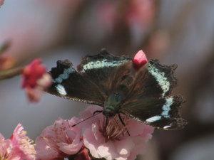 Butterfly_plum