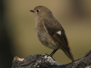 Daurian_redstart_female