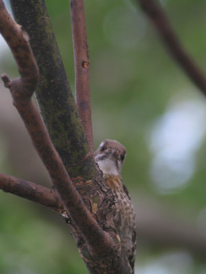 Japanese_pygmy_woodpecker17