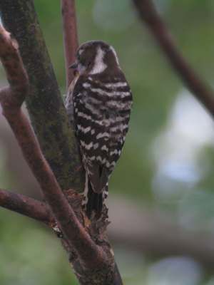 Japanese_pygmy_woodpecker1_2
