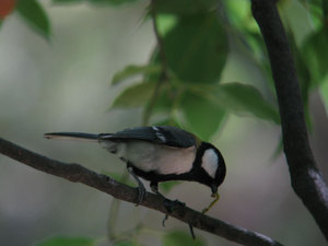Great_tit_1