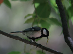 Great_tit_2