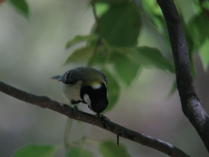 Great_tit_4