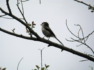Long_tailed_tit
