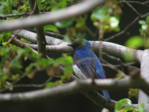 Blue_and_white_flycatcher