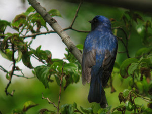 Blue_and_white_flycatcher2