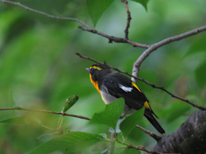 Narcissus_flycatcher