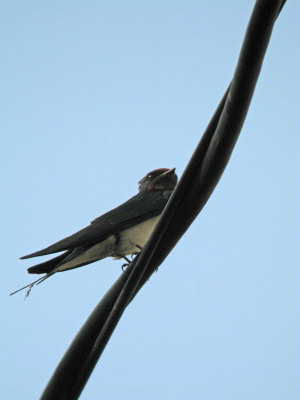 Barn_swallow1