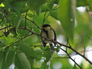 Great_tit1_2