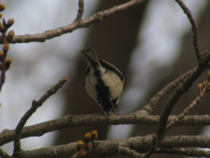 Great_tit_back
