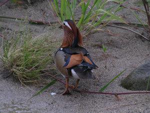 Mandarin_duck2