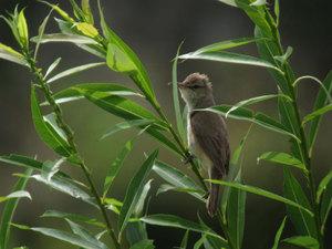 Oriental_reed_warbler