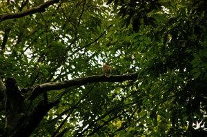 Rufous_turtle_dove