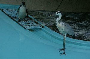 Gray_heron_and_penguin