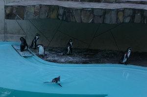 Humboldt_penguin_1