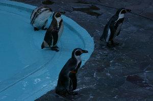 Humboldt_penguin_2