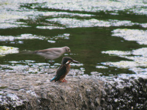 Wagtail_and_kingfisher
