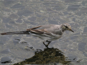 White_wagtail