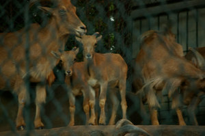 Barbary_sheep2