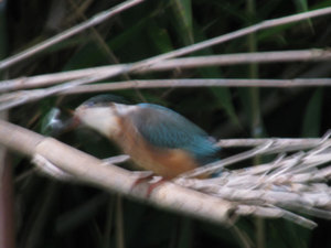 Kingfisher3