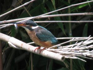 Kingfisher7