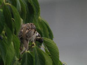 Sparrow2_2