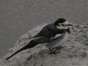 White_wagtail1