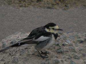 White_wagtail6