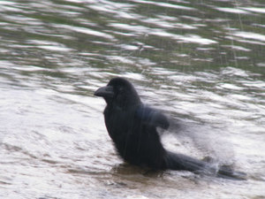 Large_billed_crow3