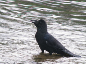 Large_billed_crow4