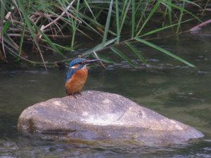 Kingfisher_2