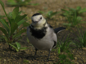 White_wagtail2