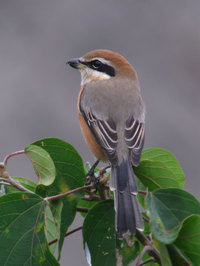 Bull_headed_shrike