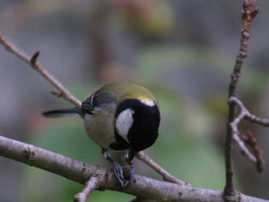 Great_tit3
