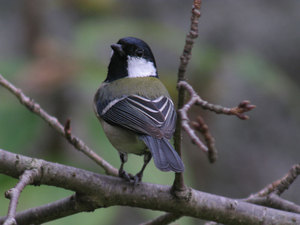 Great_tit5