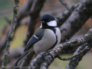 Great_tit