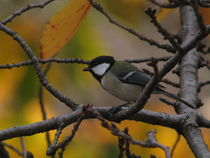 Great_tit2