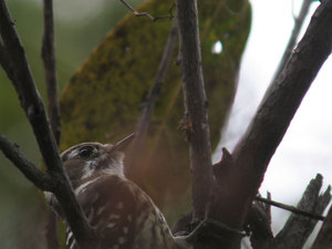 Japanese_pygmy_woodpecker1