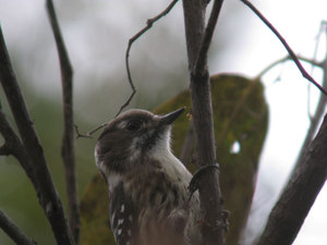 Japanese_pygmy_woodpecker3