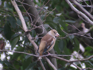 Hawfinch2