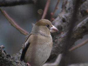 Hawfinch3