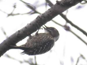 Pygmywoodpecker2